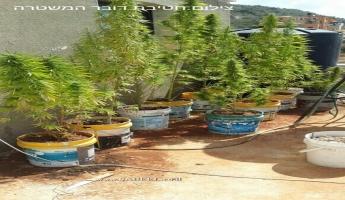 مداهمة سطح منزل مواطن بيركا وضبط كمية من المريخوانا والوسائل القتالية