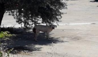 المغار : العثور على كلب في الحي الغربي من نوع خطير ( دوغو ارجنتيني ) مصاب بجروح بالغة وقسم الصحة التابع للمجلس المحلي يمسك بالكلب وينقله الى مؤسسة خاصة بتربية الكلاب
